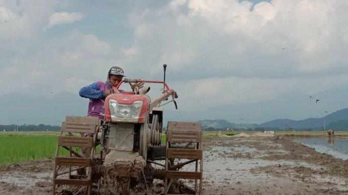 Diprediksi Terjadi Ledakan Populasi Wereng, Petani Pringsewu Diminta Tanam Padi Inpari