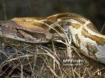 80-ular-ball-python-mati-terpanggang-pemilik-diperkirakan-rugi-hingga-rp-1-miliar.jpg