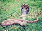arti-mimpi-melihat-ular-kobra-waspada-ada-orang-ketiga.jpg