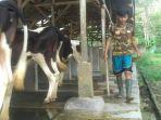 cerita-peternak-sapi-di-kedaung-bandar-lampung-olah-kotoran-jadi-biogas.jpg