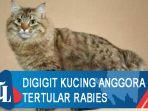 digigit-kucing-anggora-tertular-rabies.jpg