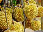 durian-si-gadung_20170717_110321.jpg