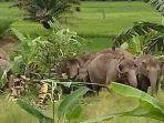 gajah-liar-masuk-ke-perkebunan-milik-warga-di-suoh.jpg