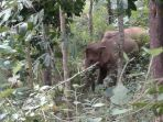 gajah-liar_20170818_212327.jpg
