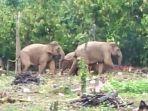 gajah-liar_20180116_181814.jpg