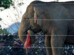 gajah-makan-sampah_20180522_231703.jpg