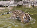 harimau-sumatera-di-lembah-hijau.jpg