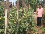 kebun-tomat-di-lahan-pekarangan.jpg