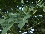 khasiat-daun-pepaya-dapat-bantu-mengobati-malaria.jpg