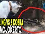 pertarungan-kucing-vs-3-kobra-di-mojokerto-2-ular-mati-dicakar-dan-digigit.jpg