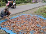 petani-kakao-semringah-harga-jual-biji-kakao-mulai-merangkak-naik.jpg