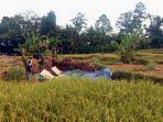 petani-sedang-panen-padi-di-wilayah-kecamatan-rajabasa.jpg