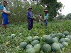 petani-semangka-panen-1.jpg