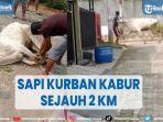 sapi-kurban-berbobot-200-kg-di-bandar-lampung-kabur-sejauh-2-km.jpg