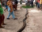 seekor-ular-sanca-kembang_20171204_201858.jpg