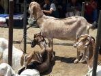 simak-tips-atau-cara-menghilangkan-bau-perengus-pada-daging-hewan-kurban-kambing.jpg