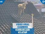 video-viral-kambing-kurban-lari-ke-atap.jpg