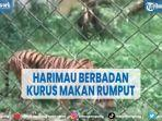 viral-harimau-berbadan-kurus-makan-rumput-di-medan-zoo-bksda-turun-tangan.jpg