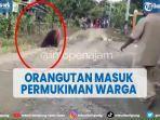 viral-orangutan-masuk-permukiman-warga-di-paser-kaltim.jpg