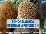 viral-pohon-nangka-di-ponorogo-berbuah-mirip-durian-ini-cerita-pemiliknya.jpg