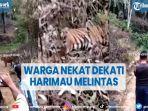 viral-sejumlah-warga-nekat-dekati-harimau-yang-melintas-di-jalan-setapak.jpg