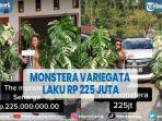 viral-tanaman-monstera-variegata-laku-terjual-rp-225-juta.jpg