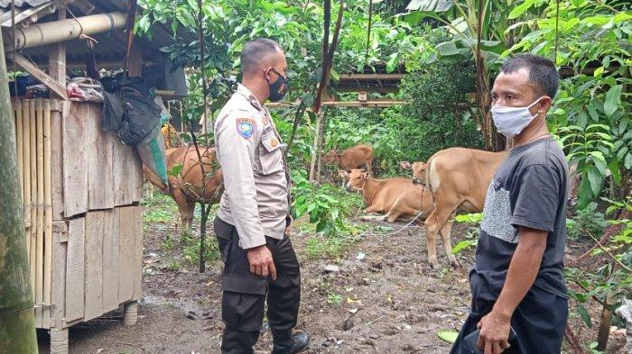 9 Sapi Dicuri dari Kandang, Polsek Sekotong Lakukan Pengejaran dan Temukan Kembali Hewan Curian