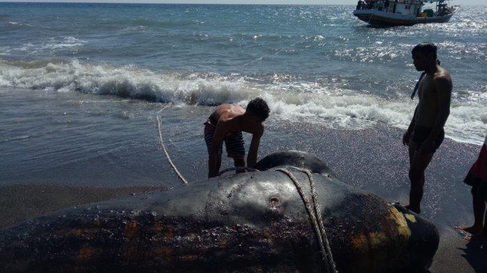 EVAKUASI: Bangkai ikan Hiu Paus Pilot yang terdampak di Pantai Dusun Teluk, Lombok Utara digeret dan ditenggelamkan, Jumat (4/6/2021). (Dok. Polres Lombok Utara)