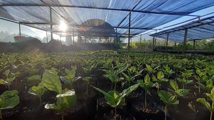 BIBIT KOPI: Bibit kopi yang dibagikan masyarakat Adat Sembahulun kepada para petani kopi di Sembalun, Lombok Timur.