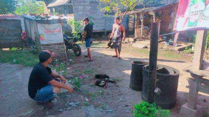 Judi Sabung Ayam Resahkan Warga Sumbawa Barat, Polisi Bubarkan Arena Judi di Seteluk
