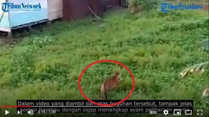 Harimau Sumatera Terekam Kamera Masuk Permukiman Mangsa Hewan Ternak, BKSDA Riau Beri Penjelasan