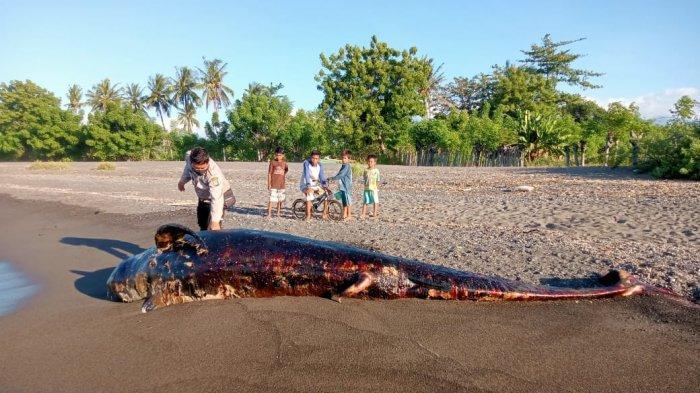 HIU PAUS: Bangkai ikan Hiu Paus yang terdampar di Pantai Dusun Teluk, Desa Sukadana, Kabupaten Lombok Utara jadi tontonan warga, Kamis (3/5/2021) sore. (Dok. Polres Lombok Utara)