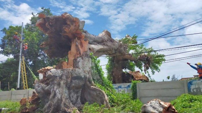 Pohon Kenari 'Warisan Belanda' di Kota Mataram Tumbang Diterjang Angin Kencang