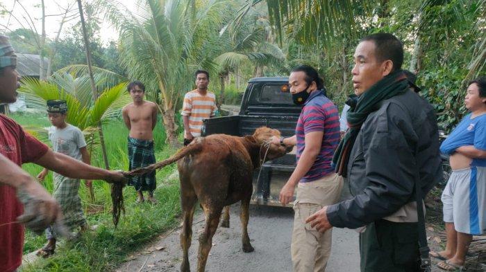 Sapi Hasil Curian Ditemukan Anggota Polsek Jonggat Lombok Tengah di Sawah Warga