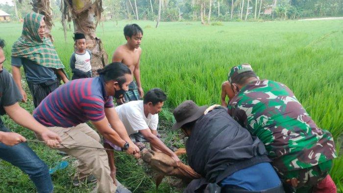 SAPI CURIAN: Warga dan anggota Polsek Jonggat Lombok Tengah menemukan sapi curian di perbatasan Desa Bunkate dan Desa Barejulat, Minggu (23/5/2021). (Dok. Polsek Jonggat)