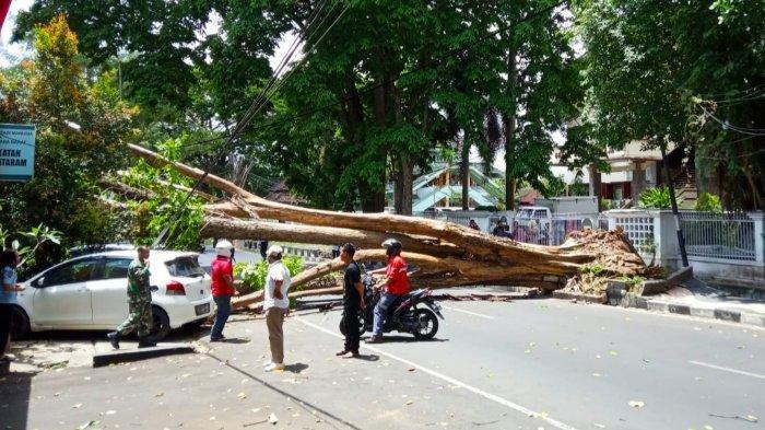 WASPADA Pohon Tua Kantor Gubernur NTB Tumbang, Warga: Terdengar Suara Seperti Gemuruh