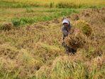 seorang-buruh-tani-di-lombok-tengah-mengangkat-padi-yang-hendak-dipanen.jpg