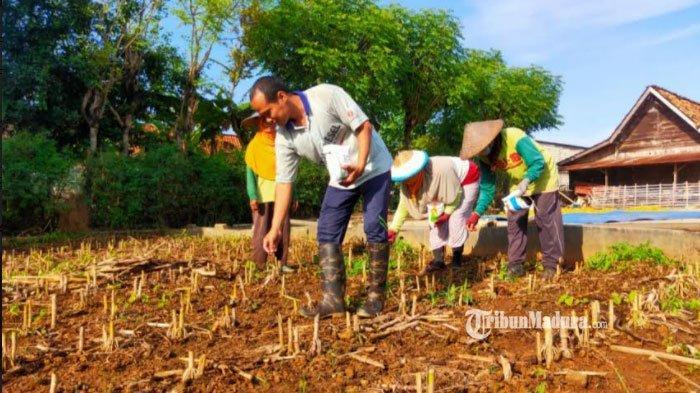 Meski Jadi Miliarder Baru, Warga Desa Sumurgeneng Tuban Tetap Bertani, Tak Sungkan Jemur Jagung