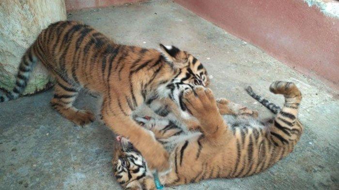 Bayi Harimau Sumatera Lahir,Koleksi Maharani Zoo dan Goa Lamongan Bertambah