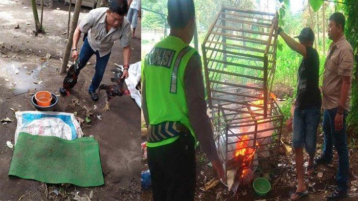 Arena Judi Sabung Ayam di Kediri Dibongkar, Sejumlah Kurungan Ayam Dibakar Polsek Puncu