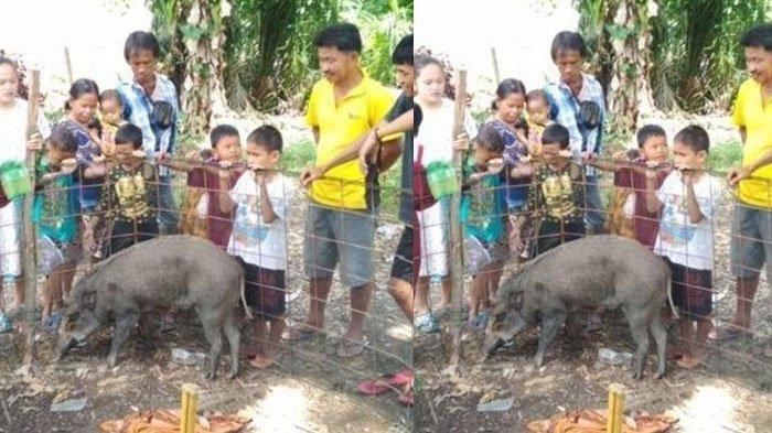 Bikin Heboh, Babi Hutan Enggan Diusir Warga dan Menangis, Mau Tidur Kalau ada Bantal dan Selimut