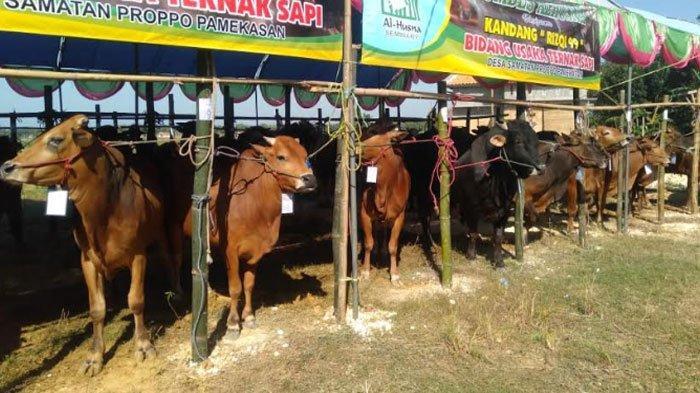 Bazar Hewan Kurban Murah di Samatan Pamekasan,Ada 150Ternak yang Disediakan 13 Kelompok Peternak