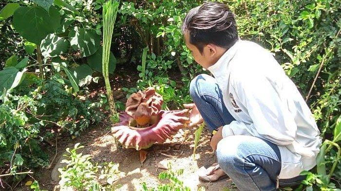 Bunga Bangkai Amorphophallus Peoniifolius Tumbuh di Desa Dadapan Bondowoso, Tarik Perhatian Warga