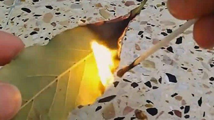 Bakar Daun Salam di Atas Lilin dan Hirup Aromanya, Banyak Khasiat dan Manfaat yang Dimiliki