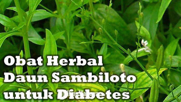 Selain Sembuhkan Gejala Covid-19, Daun Sambiloto Bisa Sembuhkan Diabetes, Simak Resep Ramuannya