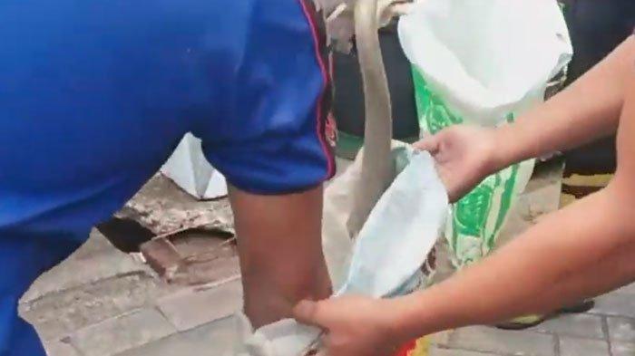 Teror Ular Kobra di Perumahan Wilayah Jember, Datangi Rumah Warga Sampai Bertelur dan Berganti Kulit