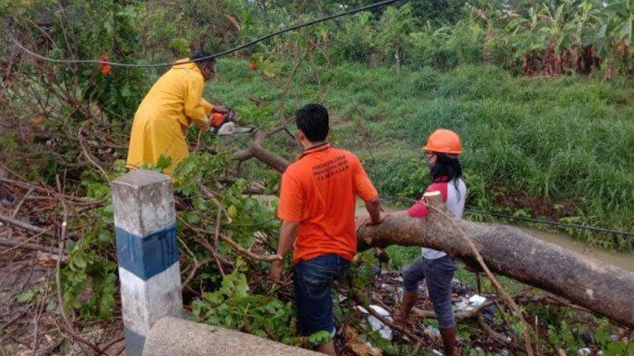 Pamekasan Masuki Musim Hujan, BPBD Imbau Warga Waspada Potensi Pohon Tumbang Akibat Angin Kencang