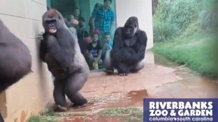 Aksi Lucu Gorila Takut Air Hujan di Kebun Binatang, Jalandi Pinggir TembokAgar Tidak Kebasahan