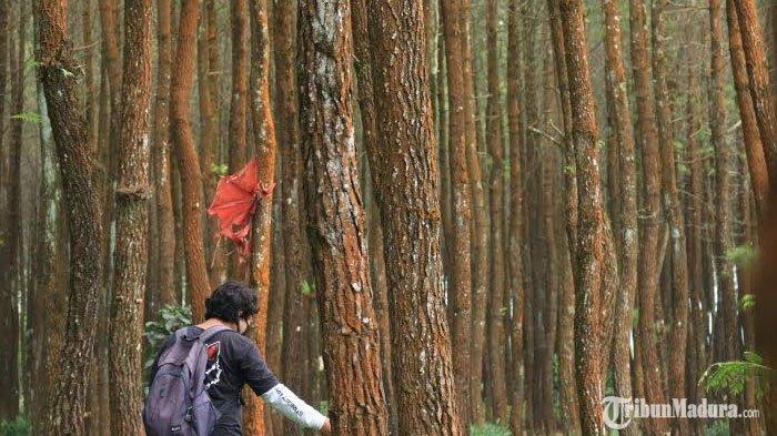 Wisata Hutan Pinus Semeru Malang, Surga Tersembunyi diKecamatan Wajak, Tempat Tenang nan Sejuk