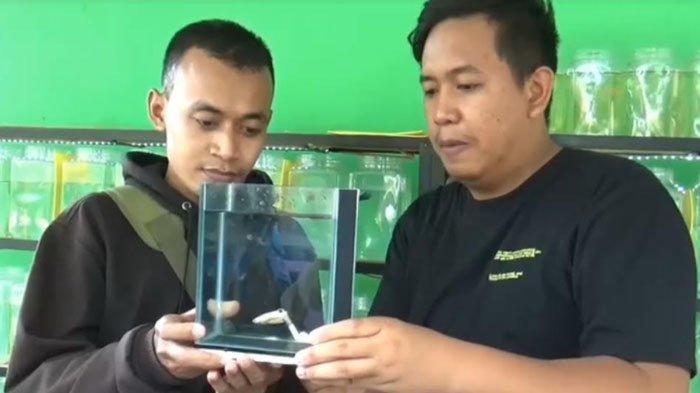 Telanjur Cinta, Pria ini Rela Tukar Emas Batangan demi Ikan Cupang, Pembeli: Senang Bisa Beli
